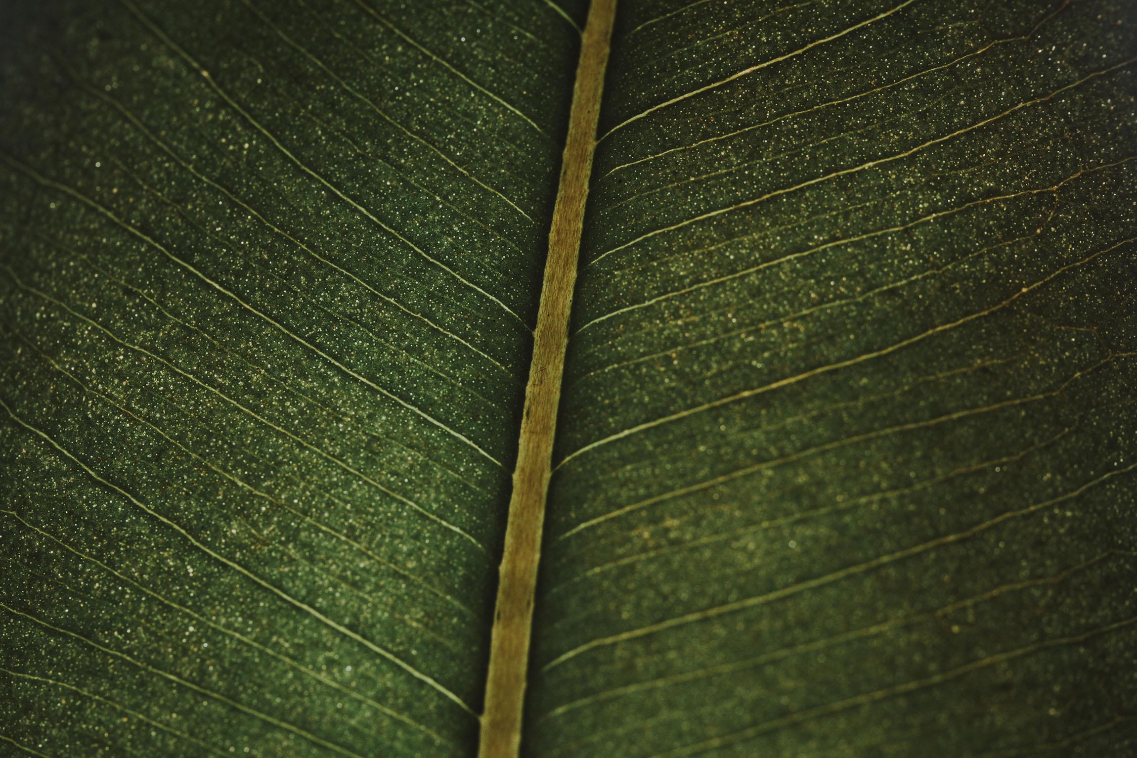 Ficus Elastica -1