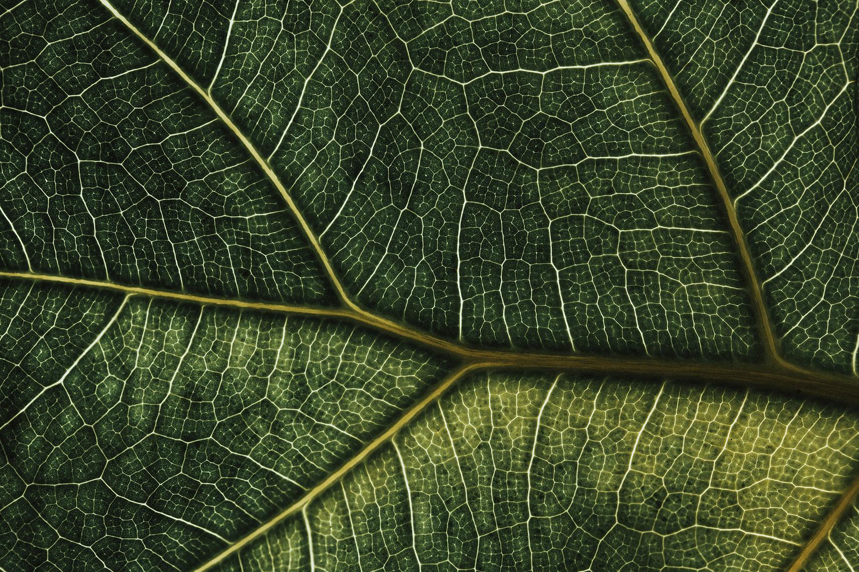 Ficus Lyrata – 2